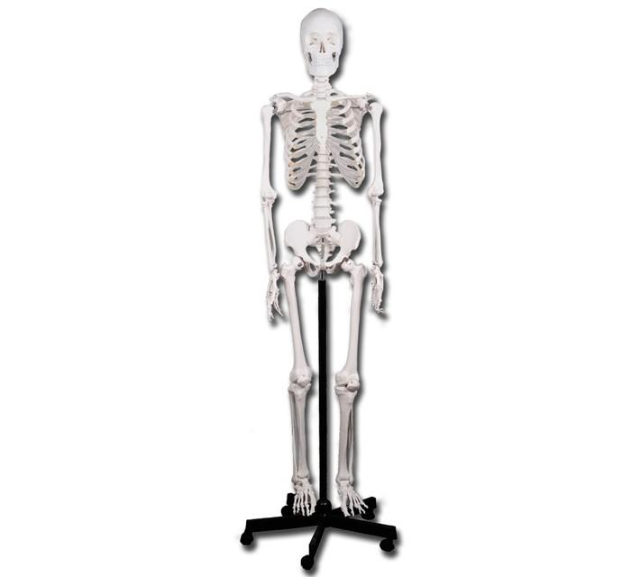 Skelet op rolstatief